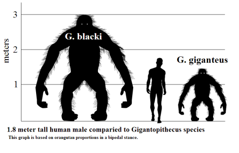 Size comparison of gigantopithecus and human. Credit: http://en.wikipedia.org/wiki/User:Discott
