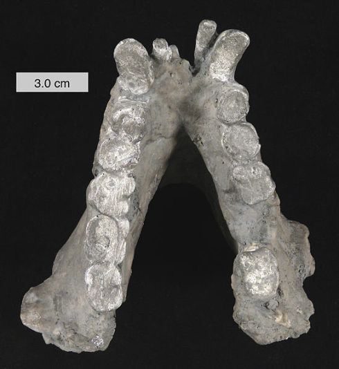 Cast of G. blacki's lower mandible. Credit: Mark A. Wilson (http://commons.wikimedia.org/wiki/User:Wilson44691)